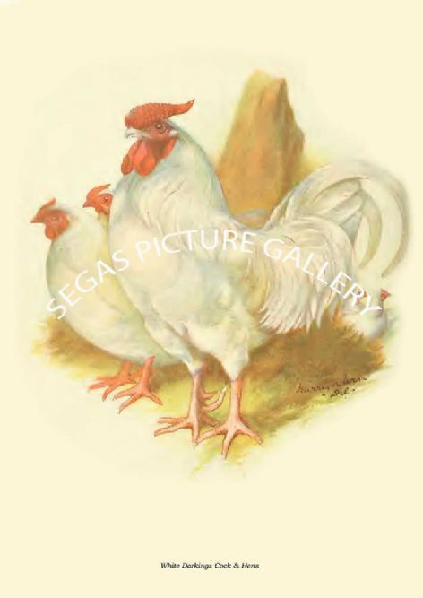 Fine art print of the White Dorkings Cock & Hens by Harrison Weir (1904)